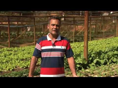 Experimento utilizando papel semi kraft na produção de hortaliças folhosas