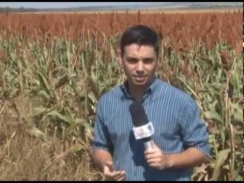Nova variedade de sorgo é lançada para ser intercalada com a cultura do milho