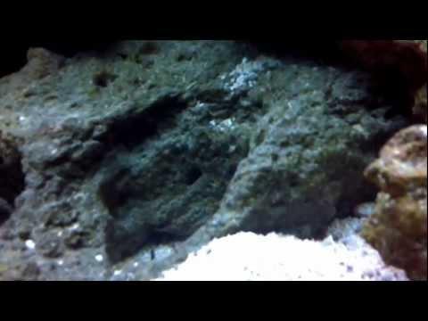 (HD) First Reef Tank 110g (ACD) Week 16