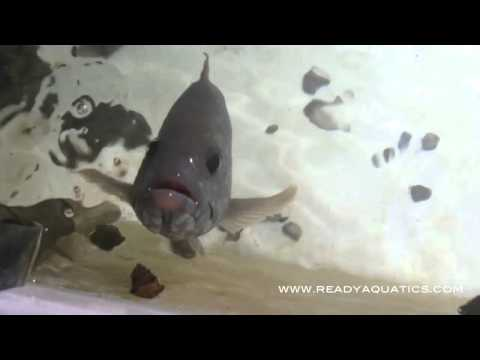Grouper Feeding & Jumping out of water www.ReadyAquatics.com