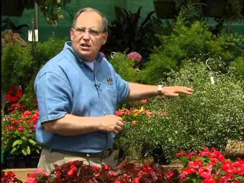 Drought-tolerant Euphorbia