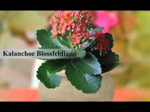 Kalanchoe Care Tips