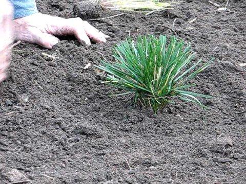 How to Plant Ornamental Grasses
