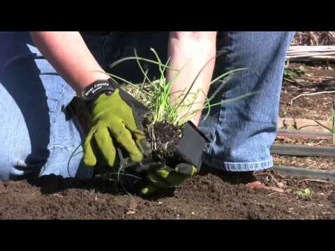 HOW TO VIDEO: PLANTING ONIONS