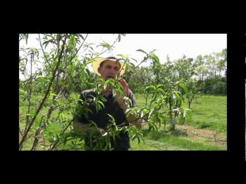 How to Thin Fruit, Basic Fruit Thinning Tips - Gurney's Video