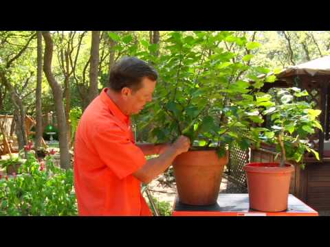 Gardening Tips : Caring for Hibiscus Plants