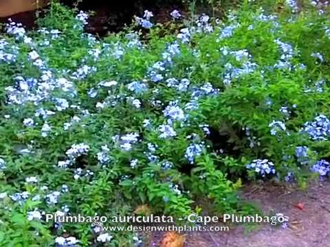Plumbago auriculata - Cape Plumbago