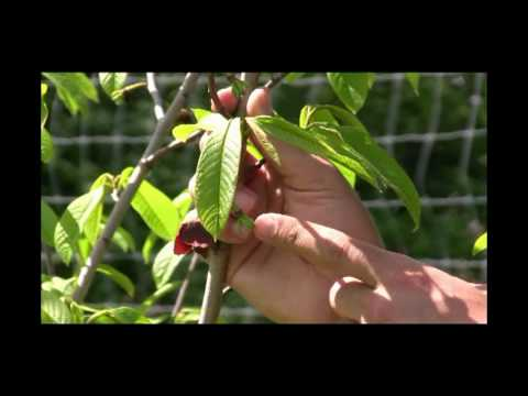 An Up Close Look at Beautiful Pawpaw Tree Flowers - Gurney's Video