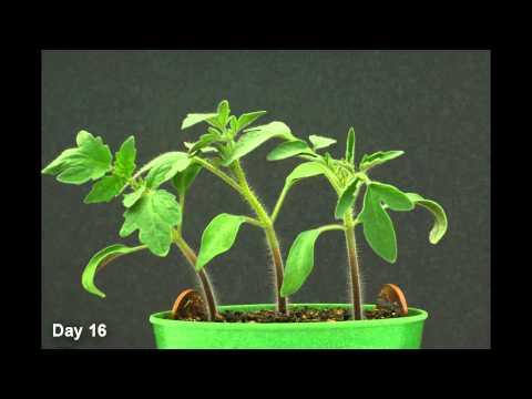 Time Lapse - Tomato Plant HD