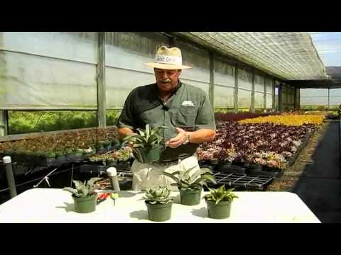 Agave Care Instructions.avi