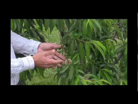 Benefits of Fruit Thinning: Thinned Fruit vs. Non-Thinned Part 2 - Gurney's Video