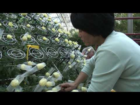 Longwood Grows its Largest Thousand Bloom Chrysanthemum Ever.