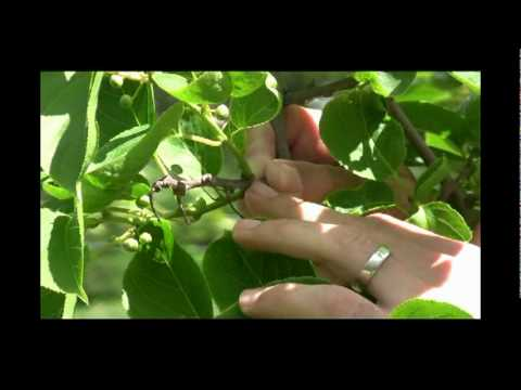 Kiwi Plant Care Tips and Info - Gurney's Video
