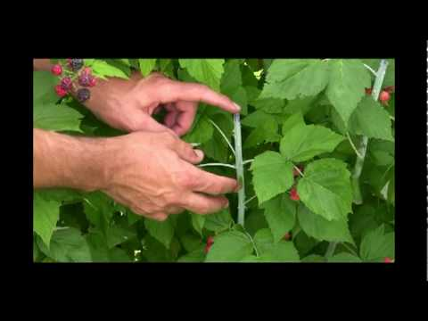 How to Get the Most Fruit Poduction from your Black Raspberries - Gurney's Video