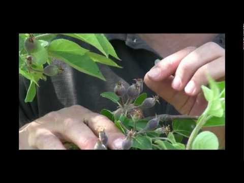 How to Thin Fruit on Apple Trees - Gurney's Video