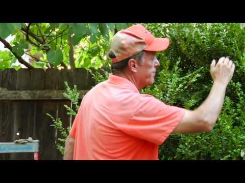Gardening Tips : How to Trim a Shrub