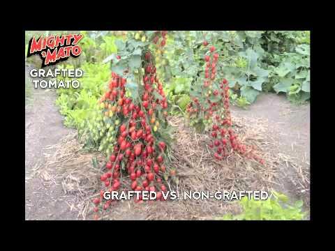 Mighty 'Mato Grafted Tomato