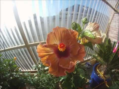 "Hibiscus ""Thanksgiving""  time lapse bloom HD"