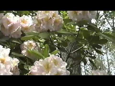 A Breath Of Azalea And Rhododendron