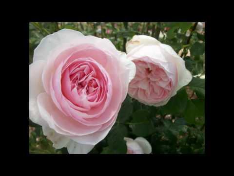 Roses For Summer