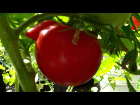PlantProfile : Super Fantastic Tomato
