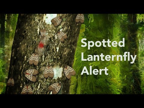 If you see a Spotted Lanternfly, report it!