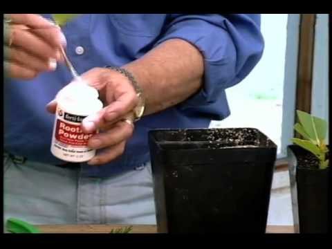 Ed Hume shows how to propagate plants through root cuttings