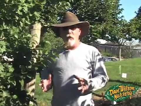 Summer Pruning Fruit Trees 2013