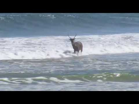 Deer Takes a Swim in the Ocean!