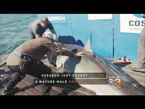 Largest Tagged Male Great White Is Sighted Of New Jersey Coast