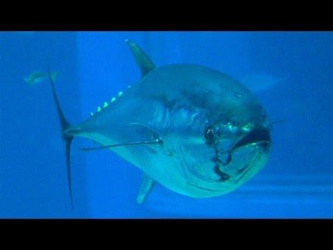 Radioactive Bluefin Tuna Reach U.S. Waters in Wake of Fukushima Disaster