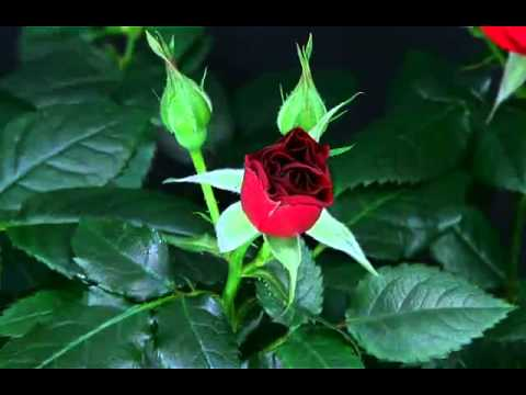 Beauty of blooming roses / La beauté des roses fleurissantes