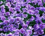An Ocean of Violets in Bloom Art Show