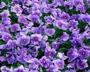 An Ocean of Violets in Bloom Art Show