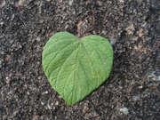 folha amor
