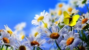 White-daisy-flowers-yellow-butterfly-blue-sky_2560x1440