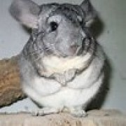 Zero the Hypnotic Chinchilla