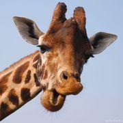 Dr.Giraffe (Jesse)