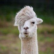 Olivia Phillips (lovely llama)