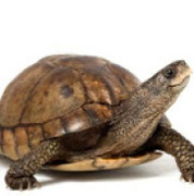 Chris (Tempo Turtle)