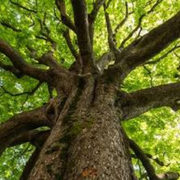Demetrio (Mythical Tree)