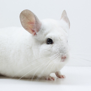 Diella Josephson (Chinchilla)