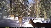 Northwoods Deer