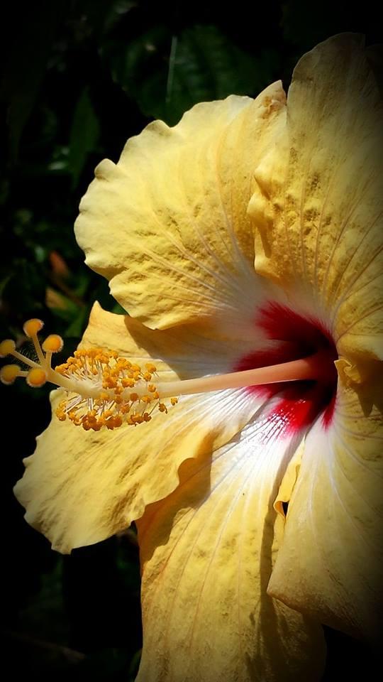 Yellow Flowering Hibiscus
