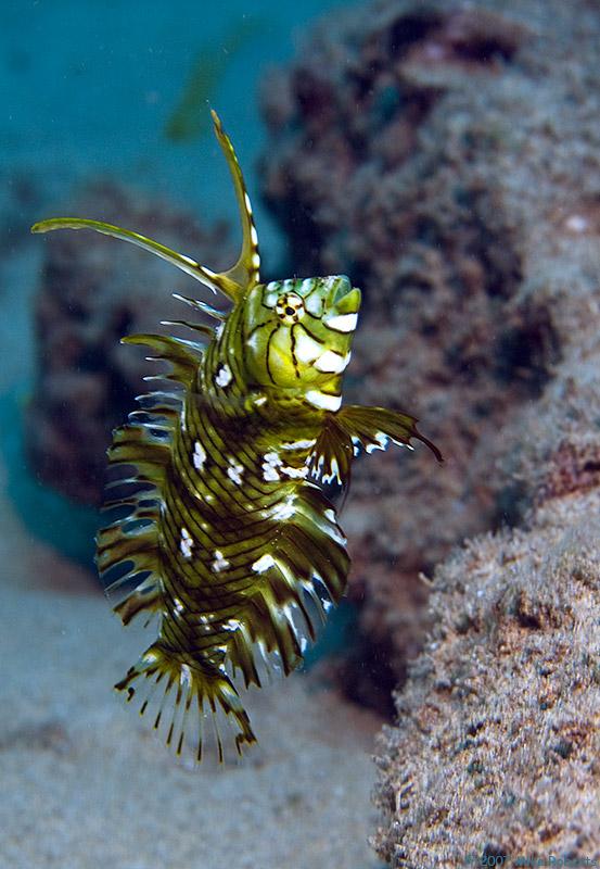 jesterclownfish