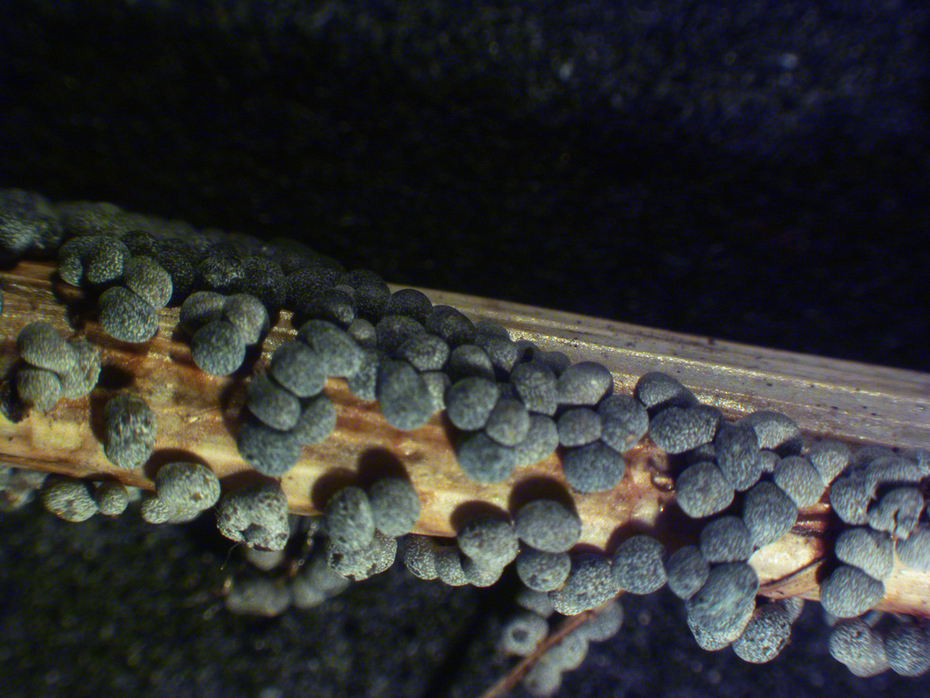 Sporangia from compost heap