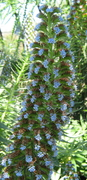 VERY TALL BLUE FLOWER