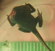 Toadlet - day one with scale