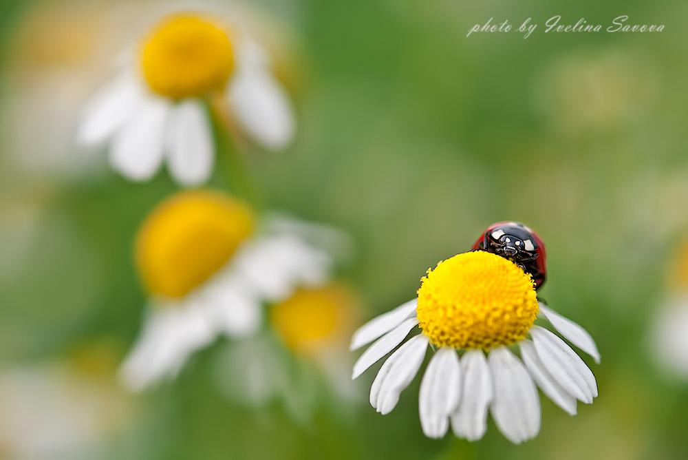 Ladybug and daisies