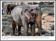 elefantes accidentados